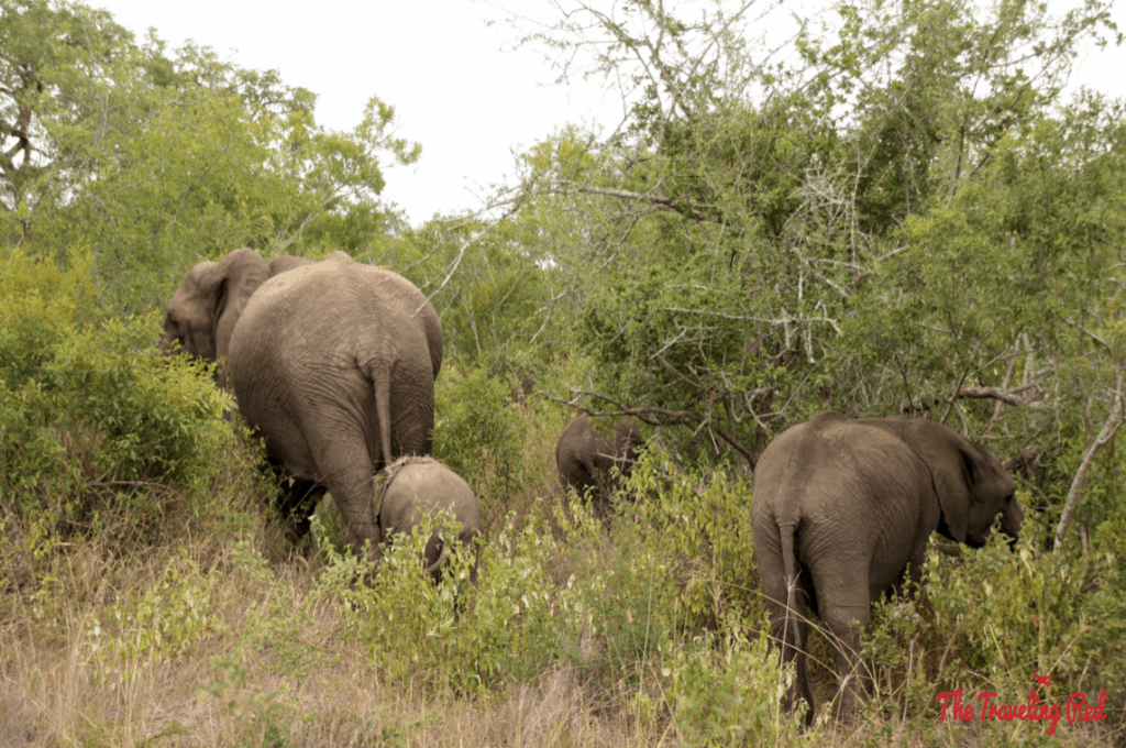 A family of elephants we spotted during our morning game drive in South Africa. We did our African Safari with the amazing team from Leopard Hills in Sabi Sands. This was the day we saw the Big Five animals all in 1 day.