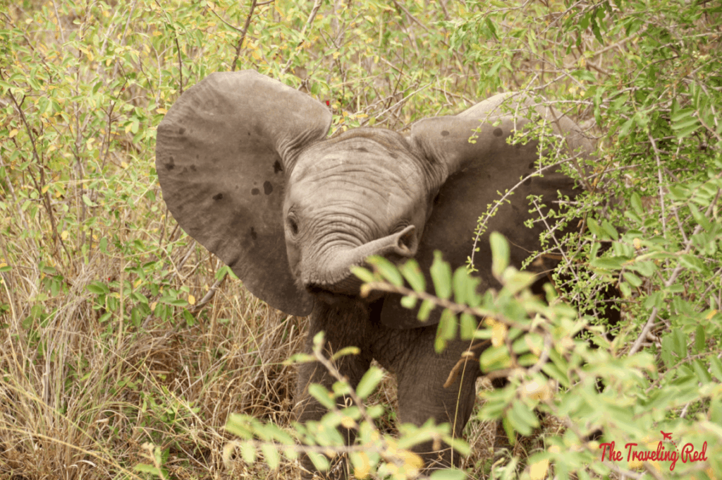 A baby elephants we spotted during our morning game drive in South Africa. He was trying to intimidate us and it was the cutest thing ever. We did our African Safari with the amazing team from Leopard Hills in Sabi Sands. This was the day we saw the Big Five animals all in 1 day.