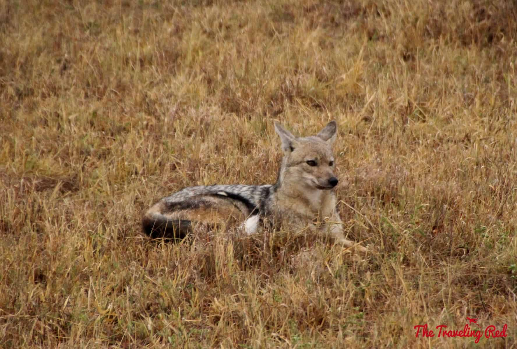 A fox in South Africa