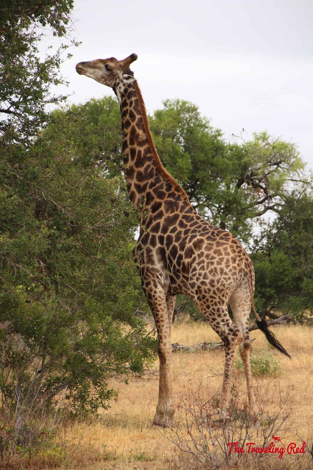 A giraffe in South Africa