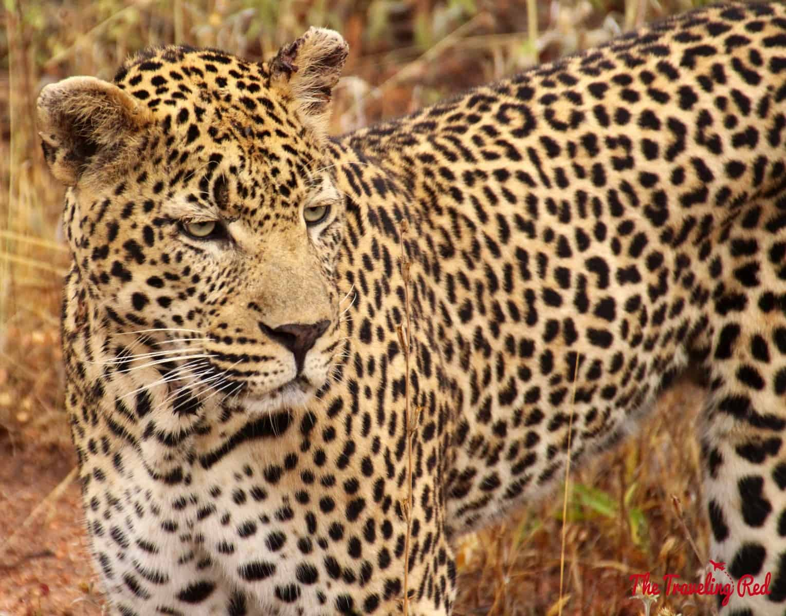 A gorgeous leopard in South Africa