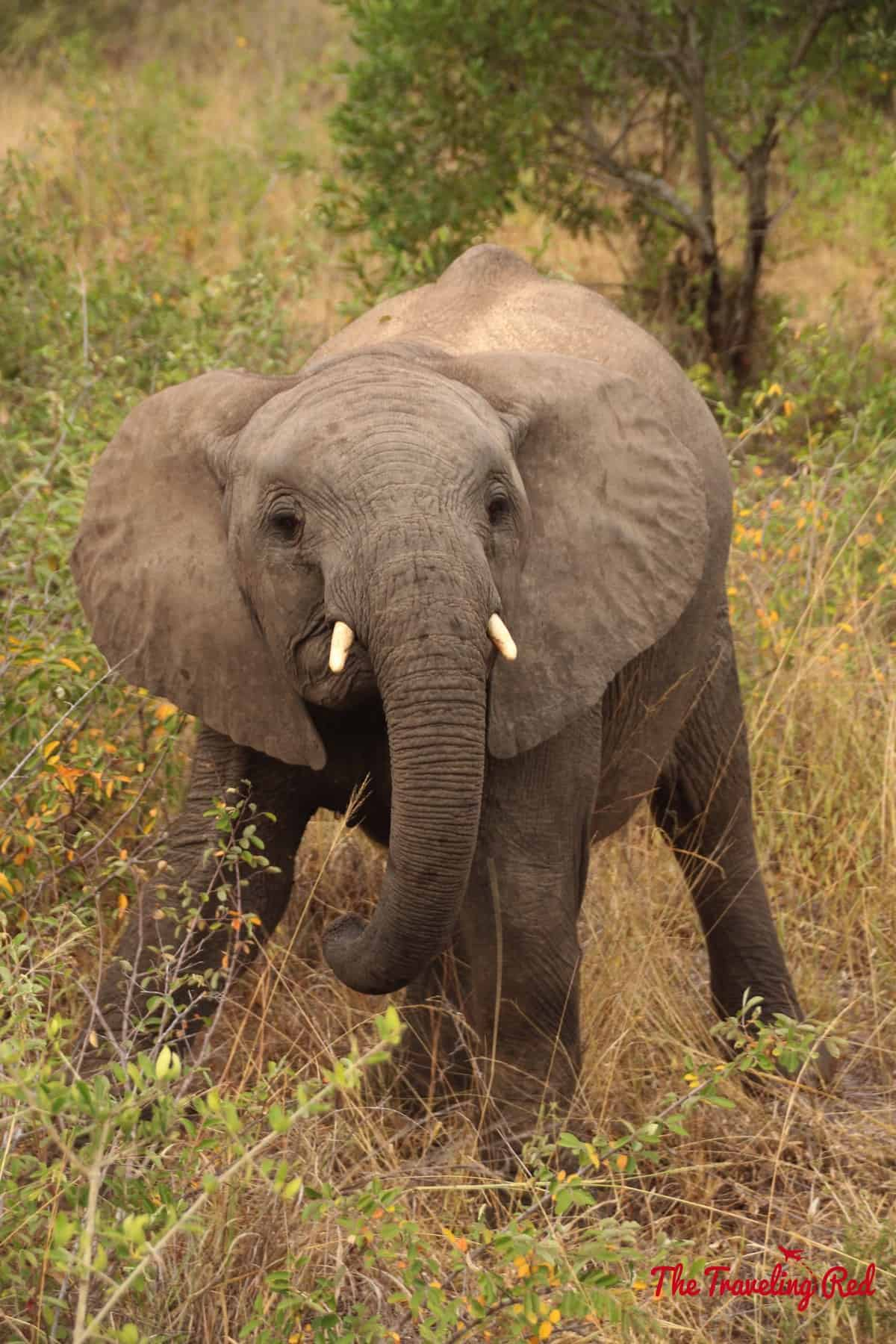 Baby elephant trying to intimidate us
