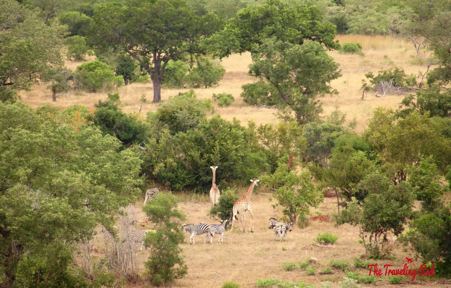 Giraffes and zebra we could see from lunch