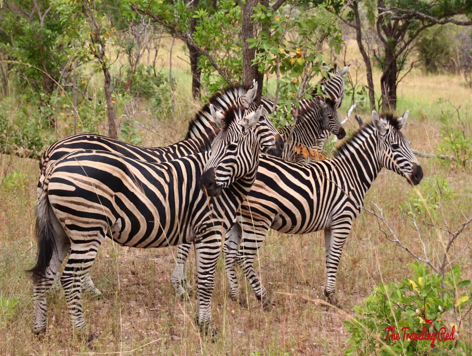Zebras in South Africa