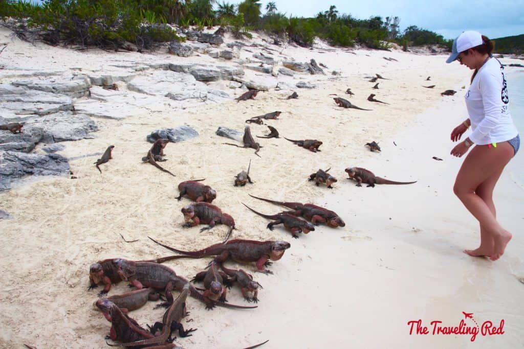 Exuma is known for different animals such as pigs, sharks and even iguanas! Allan Cay is an island full of iguanas. Tourists go to feed them. It is one of the popular stops when visiting the Exumas in the Bahamas.