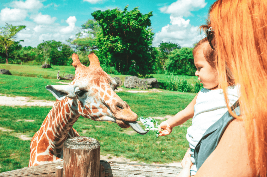 Hand feeding giraffes at Zoo Miami.